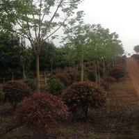 优质特价重阳木,红叶石楠球产地直销