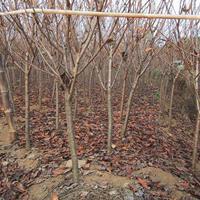 地徑3--5公分日本櫻花,價廉,質優