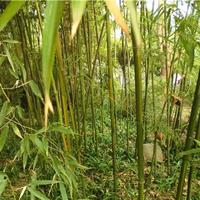 供应黄槽竹 黄槽竹小苗 黄槽竹价格 竹子