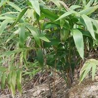 供应箬竹 箬竹小苗 箬竹工程苗 箬竹价格