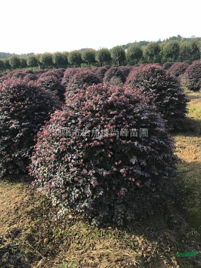 湖南冠幅1米�D�D1.5米红花继木精球出售