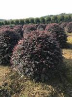 湖南冠幅1米――1.5米红花继木精球出售