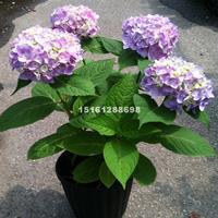 江苏30-40公分高八仙花价格八仙花图片八仙花产地八仙花基地