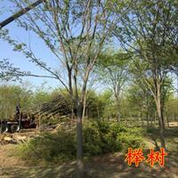 江蘇紅櫸樹價格櫸樹圖片櫸樹基地紅櫸樹產地