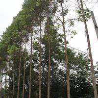 桉樹6-7公分*新價格 桉樹批發種植基地供應