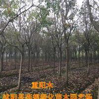 供应江苏重阳木重阳木价格重阳木图片重阳木产地