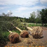 江苏朴树价格朴树图片朴树基地规格齐全