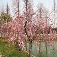 供应一二年生的垂枝梅小苗以及2-10公分的垂枝梅树