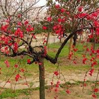 垂枝桃 垂枝桃树垂枝桃小苗快乐赛车苗 垂枝桃树苗景观造型树