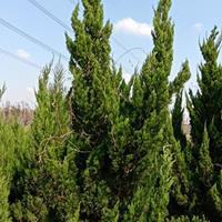 高档地被植物龙柏、龙柏球、龙柏树