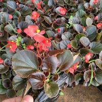 玻璃海棠杯苗-山東四季海棠基地