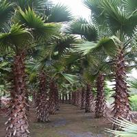 批发精品福建华棕杆高1-9米 华盛顿棕榈 产地直销 物美价廉