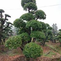 湖南浏阳造型树 造型赤楠 造型榆树 造型小叶女贞 造型杜英