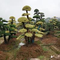 湖南特色造型树成活高造型小叶女贞 造型红花继木 造型赤楠 杜