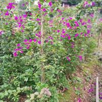 高1米冠1米紫色三角梅40元 紫色三角梅价格便宜
