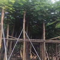 凤凰木规格10-30公分价格450元