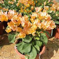 黃花三角梅規格高度50公分 價格45元
