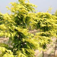 一年兩年生小苗金葉水杉2-12公分金葉水杉樹苗