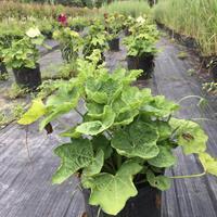 蜀葵、蓝花草、美国薄荷、硫磺菊、马蔺花、美国薄荷、喷雪花