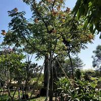 台湾栾树10公分 产地直供