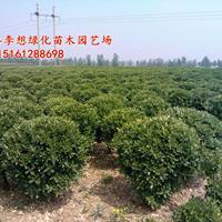 大叶黄杨球冠幅50-200公分什么价格 大叶黄杨球产地
