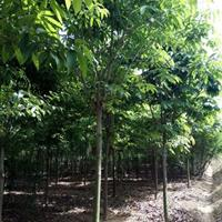 供應七葉樹 4-18公分七葉樹苗 七葉樹價格
