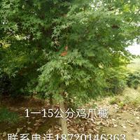 江西1-15公分鸡爪槭哪里好/哪家便宜