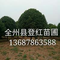 大量供應16公分以上桂花樹