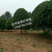 大量供應15至30公分桂花樹