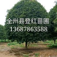 大量供應15公分以上桂花樹