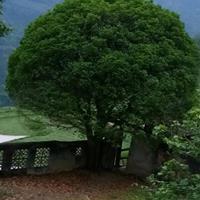 供應桂花樹35公分以上