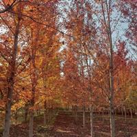 美国红枫大量处理