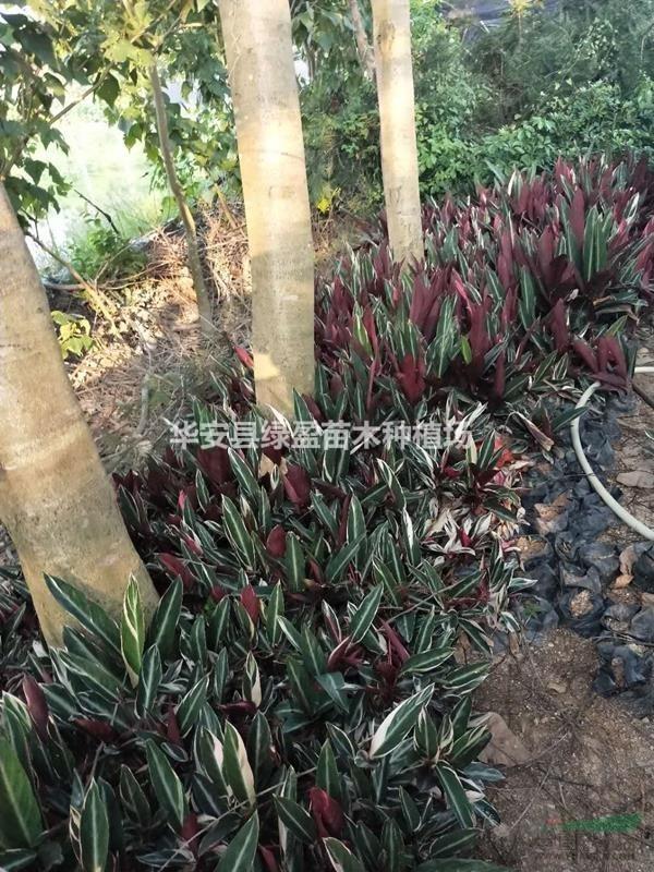 七彩竹芋 高度20公分-40公分 价格2元