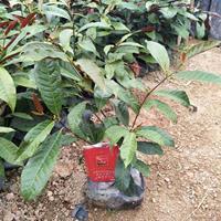 红背桂 高度40公分 价格0.8元