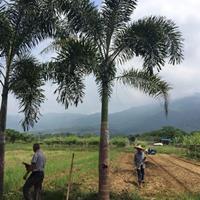 狐尾椰子杆高5米 价格300元
