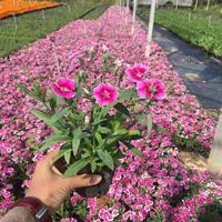 時花非洲鳳仙花地被小苗 價格1元