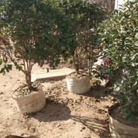 江苏供应大量优质桂花 桂花树
