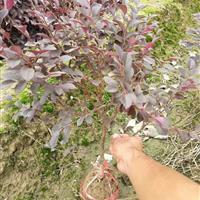 红花继木小毛球,红花继木苗,红花继木精品球