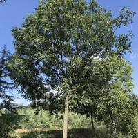 出售大国槐树,18公分国槐,20公分国槐,苗圃