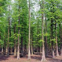 快乐赛车开奖水杉2-15公分水杉树苗 水杉小苗