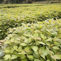 供应檫树小苗檫树种子檫树小苗价格多少?