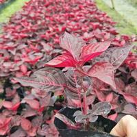 中國紅、冷水花、孔雀草、太陽花、佛辦、麗格海棠、細葉萼距花