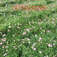 美丽月见草,月见草,夜来香,待霄草、粉晚樱草种植基地直销价格