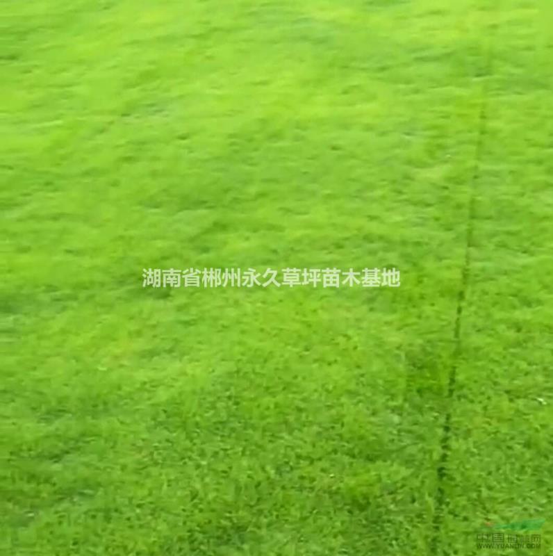 湖南省郴州永久草坪苗木基地