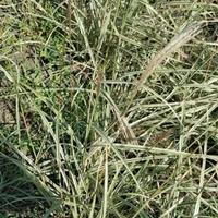 水生植物细叶芒斑叶芒花叶盲细叶芒芒草供应