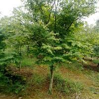 供应地径7公分鸡爪槭