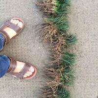 日本矮麦冬沙土苗,矮麦冬草1斤200棵,日本矮麦冬草苗圃