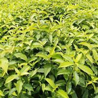 供应珍稀树种蓝果树蓝果苗价格多少