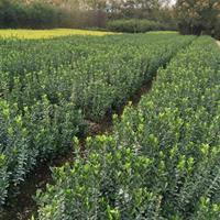 河南大叶黄杨苗价格 绿化苗圃基地批发大叶黄杨 大叶冬青苗产地