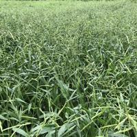 快乐赛车开奖宽叶雀稗种子百喜草种子护坡种子矿山复绿种子